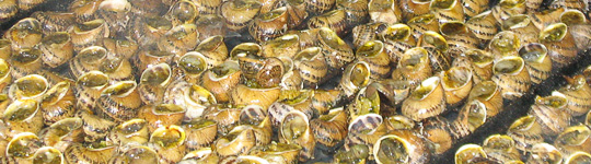 Ricette della sagra della lumaca di cantalupo di bevagna for Cucinare le lumache